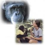手話で伝えるチンパンジーの悲しみと共感